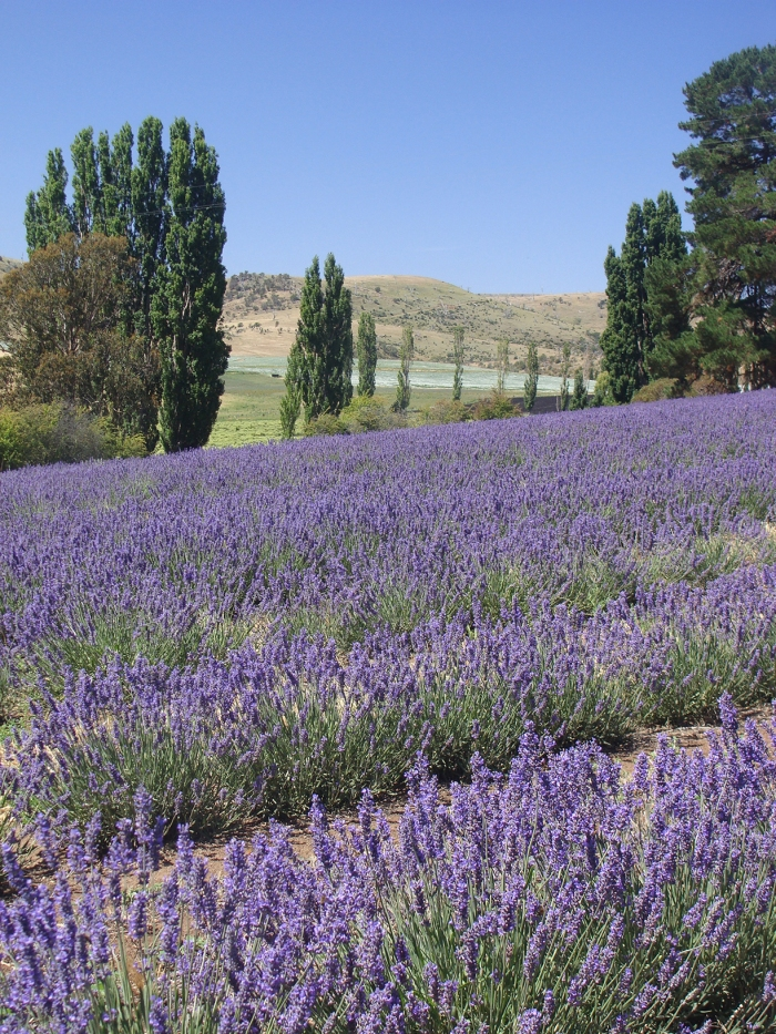 Essential oils of Tasmania - Lavender