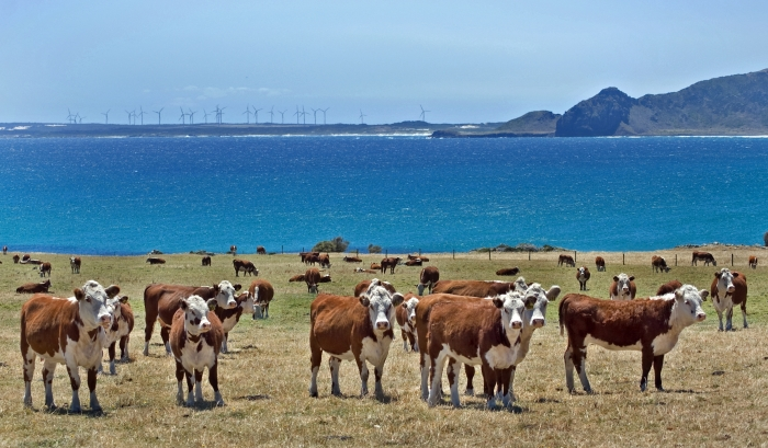 Livestock at Woolnorth with wind farms in the background, part of the push for China.