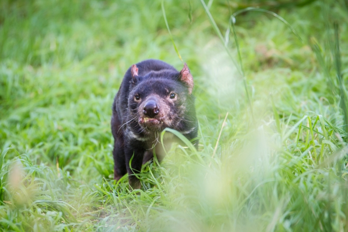 Tassie Devil in grass, by photographer Scott Bradshaw